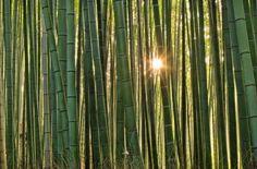 bambou Arashiyama 16