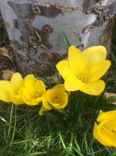 Ekimde açan sarı çiğdem. Göç göç çiçeği, sarı çiğdem (Sternbergia lutea) Sternbergia lutea şerit şeklinde koyu yeşil yaprakları bulunan ve sonbaharda Eylül - Kasım aylarında parlak sarı renkli çiçek açan soğanlı bir bitkidir. Sonbaharda çiçeklenen en güzel bitkilerden biri olan Sternbergia lutea diğer Sternbergia türleri arasında da üretimi en yaygın olarak bilinir.