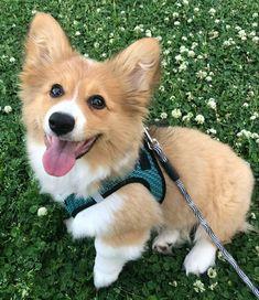 Cute Dogs, Corgi, Cute Animals, Pet Dogs, Pretty Animals, Corgis, Cutest Animals, Cute Funny Animals, Funny Dogs