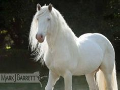 Formerly called American Albino Horses are now called American White Horses due to the fact that there is no albino gene in horses. True albino animals have pink eyes. Majestic Horse, Majestic Animals, Clydesdale, All The Pretty Horses, Beautiful Horses, Appaloosa, Albino Horse, Mustang, Horse Therapy