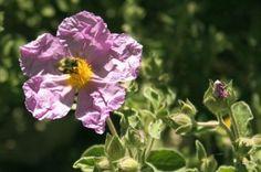 Cistus incanus ssp. tauricus