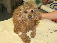 OPCA Shelter Network Alliance · ~ Animal ID #A1629388 *** 10 Year Old SENIOR ALERT!!! *** ‒ I am a Female, Brown Miniature Poodle mix. The shelter thinks I am about 10 years old. San Diego County Department of Animal Services Southern Region - Bonita ‒ (619) 767-2675 5821 Sweetwater Road Bonita, CA https://www.facebook.com/OPCA.Shelter.Network.Alliance/photos/pb.481296865284684.-2207520000.1422358605./766335056780862/?type=3&theater