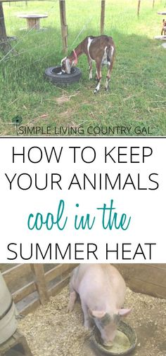Nothing can affect your animals more that the heat of summer. Learn how to make it easier for them to cope and even flourish in the hot summer months.  via @SLcountrygal