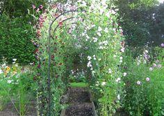 Sweet pea tunnel - All About Pea Trellis, Garden Trellis, Wicken, Rose Garden Design, Climbing Flowers, Sweet Pea Flowers, Cut Flower Garden, Garden Arches, Veg Garden