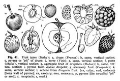 PICTURED: Fleshy Fruits (Pericarp Is Fleshy At Maturity