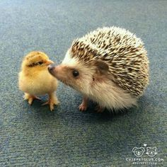 The mother usually give birth between 3 to 5 baby hedgehog however, the size of the litter can range from 1 to The baby hedgehog normally stay in their mom's side or in the nest most of the time Cute Baby Animals, Animals And Pets, Funny Animals, Animal Babies, Small Animals, Cute Hedgehog, Hedgehog Pet, Reptile Cage, Reptile Enclosure