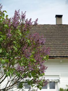 Syringa vulgaris. May 16th 2011