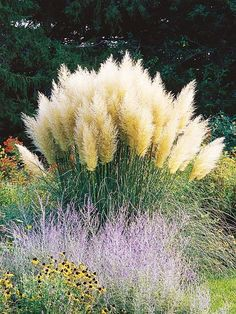 Grow your own Ornamental Grass - and then bring it indoors! (Pampasgrass -Cortaderia selloana 'Pumila') pool landscape The Beauty of Ornamental Grasses Magic Garden, Dream Garden, Ornamental Grasses, Parcs, Yard Landscaping, Landscaping Ideas, Lawn And Garden, Garden Grass, Balcony Garden