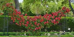 "I like the idea of ""scalloping"" a climbing rose, possibly along our picket fence.  Does anyone know if this design needs 1 plant or 2? I'll be using Rosa Don Juan (red)."