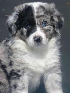 Australian Shepherd Blue Merle is part of Aussie puppies - Blue Merle Australian Shepherd Pups Australian Shepherd Puppies, Aussie Puppies, Cute Puppies, Cute Dogs, Dogs And Puppies, Australian Shepherds, Doggies, Blue Merle Australian Shepherd, Teacup Puppies