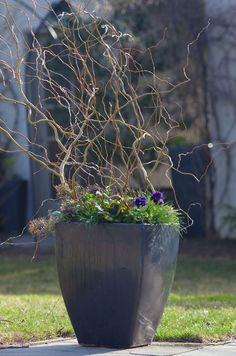 <em>Salix matsudana</em> 'Golden Curls', the curly willow, emerges from a container filled with spring annuals. <h6>Photo by Lisa Roper</h6>