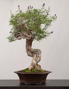 Chaste Tree Bonsai: Vitex agnus castus Bonsai Trees : More At FOSTERGINGER @ Pinterest