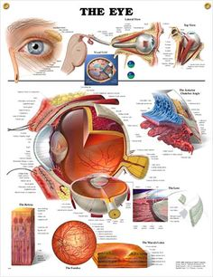The Eye anatomy poster shows cross section of eye, provides lateral and top view of the eye and shows the visual field.