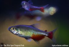 "Aphyocharax rathbuni ""Green Fire Tetra"""