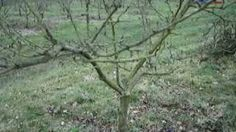 how to prune a young cherry tree - YouTube