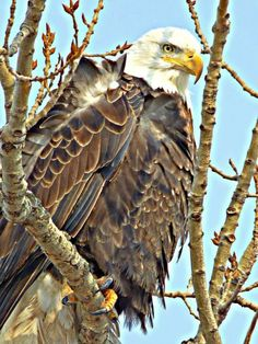 An eagle will begin incubating its clutch of eggs as early as February after focusing on nest building from November to January.  Photo: Everett Manship  #IowaDNR #Iowa #BaldEagle #Eagle #WildlifePhotography