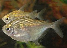 Discus Tetra (Brachychalcinus orbicularis)