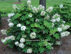Pee Wee Oakleaf Hydrangea Perennial - Dwarf White Plant does not get above 4 feet tall and spreads only about 3 feet wide in USDA zones 5 though Dwarf Hydrangea, Hydrangea Potted, Hydrangea Landscaping, Hydrangea Flower, Hydrangeas, Oak Leaf Hydrangea, Oakleaf Hydrangea Landscape, Planting Bulbs, Planting Flowers