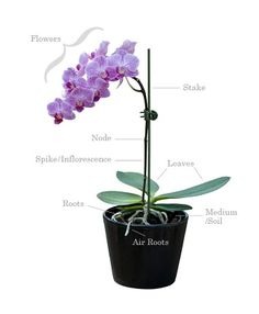 phalaenopsis orchid air root