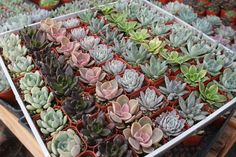 """FREE SHIPPING 25 All ROSETTES Succulent Wedding Favors in 2"""" plastic square containers succulents make great gifts favor flowers - TheWeddingMile.com"""