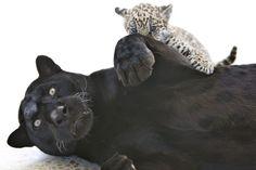 http://www.hln.be/hln/nl/7976/foto/photoalbum/detail/1068602/784755/1/  Jong-van-zeldzame-zwarte-jaguar-dolt-met-mama.