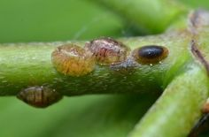 Garden Pest Control entails the regulation and control of pests, which is a type of species that are damaging to plants. Garden pests diminish the quality and Garden Bugs, Garden Pests, Gnats In Kitchen, Organic Gardening, Gardening Tips, Indoor Gardening, Scale Insects, Plant Pests, Plant Bugs