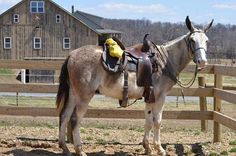 4 year old Trail Riding Mule