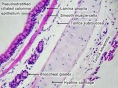 Histology of primary bronchus. Similar to trachea but with  additionally   layer of smooth muscle below the laminia propera , in the sub mucosa called Tunica muscularis