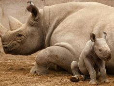 A newly born baby Eastern Black Rhinoceros calf sits with her mother in their enclosure at Chester Zoo in Chester, England, on May African Rhino, African Animals, Western Black Rhinoceros, Most Endangered Animals, Endangered Species, Rhino Poaching, Baby Rhino, Le Zoo, Chester Zoo