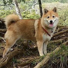 Happy Thursday everyone!  #shibainu #shiba #shibe #dogsofinstagram #doge #shibastagram #hawaiidogs