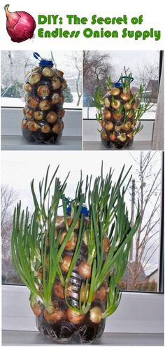 Create an ongoing supply of green onions.