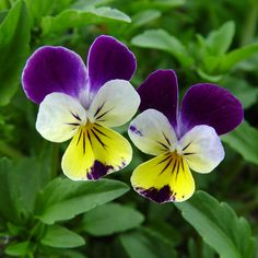 Johnny Jump Up Seeds Viola Seeds 500 Perennial Seeds 500 Johnny Jump Up SeedsThis is for 500 Johnny Jump Up seeds this is a perennial in zone this will bloom spring into fall. Great Viola seeds to grow these get to be about 6 Beautiful Flowers Pictures, Beautiful Flowers Garden, Flowers Nature, Flower Pictures, Pretty Flowers, Language Of Flowers, Little Flowers, Pansies, Violas Flowers