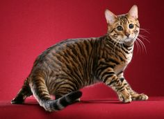 Toyger - new breed of cat