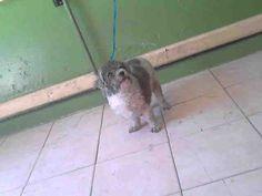 www.PetHarbor.com pet:LACO1.A4600456