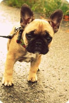 If I were to have a dog, I wouldn't mind having one of these.  :)  - A French Bulldog.  Such cuties.