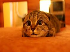 Cute Scottish Fold kitten prepares to pounce. My, what big eyes you have!