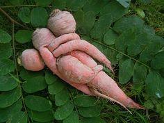 Carrots hugging each other. Weird Fruit, Funny Fruit, Strange Fruit, Weird Plants, Exotic Plants, Fruit And Veg, Fruits And Veggies, Funny Vegetables, Strange Flowers