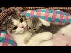 「猫かわいい」 母親と遊んでいる子猫 - 最も面白い猫の映画2017 #78 - YouTube