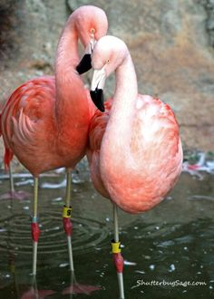 Flamings At The Atlanta Zoo Looking Like Love Birds