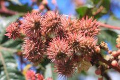 Castor plant (Ricinis communis)