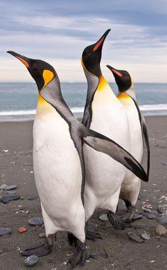 King penguins | We Three Kings