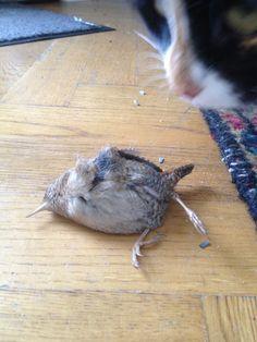 #Bird #KIA #nature #catfood #hunting