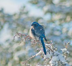 Bird Photography Scrub Jay wintertime snowy by CheyAnneSexton