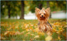 Йорик  #Россия #породы #йорк #джек #терьер #животные #щенки #собаки #щенок #Москва #Тула #Серпухов #Добро #Осень #Самара #Спб #Питер #Хабаровск #Курск #Казань #animals #animal #pet #pets #dogs #doggy #dog #moskow #russia #cute #terrier