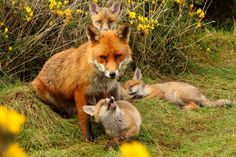 Fox cub's with father by Gordon 70
