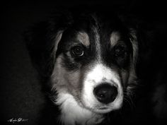 Our Bella - purebred English Shepherd pup