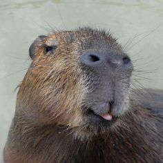 271 Best Capybara Images In 2019 Capybara Guinea Pigs Rodents
