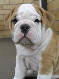 Isn't this English Bulldog just the sweetest thing ever.  #puppied