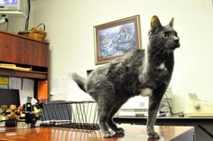 Three Legged Cat Jade is the Heart of a Police Force
