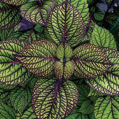 Coleus Fishnet Stockings. Part shade to shade, easy maintenance, will grow in container. From Proven Winners.